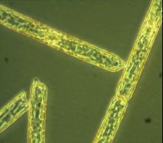 Antarctic diatom.