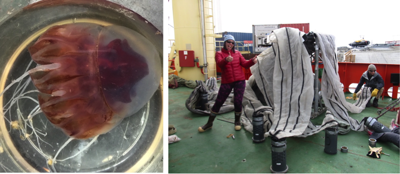Left: Periphylla collected during the first process station near PAL station 600.040 . Right: Tricia Thibodeau and Andrew Corso (Rutgers) prepping the MOCNESS (monster) net at Palmer Station.